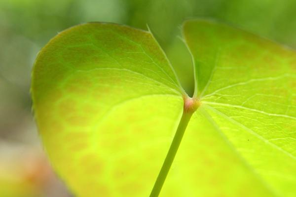 Fairy Wings Leaf
