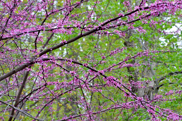 Native Redbud