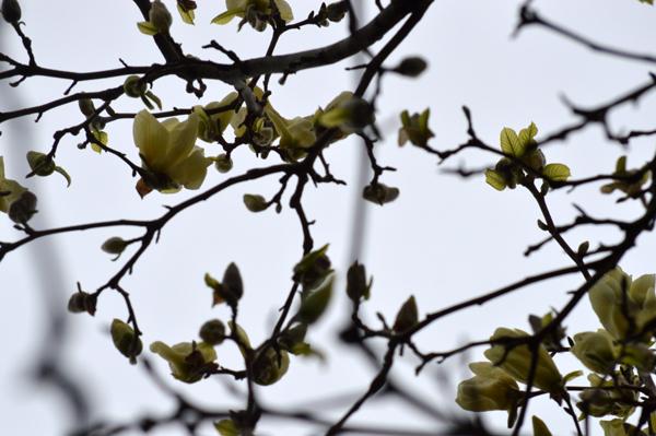 Yellow Magnolia Sky