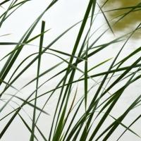 Pond Edge Reeds