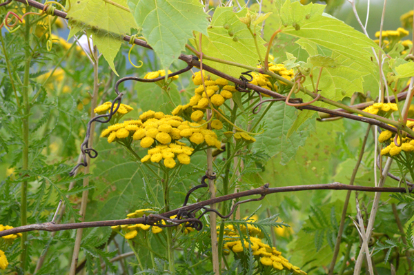 Tansy and Wild Grape