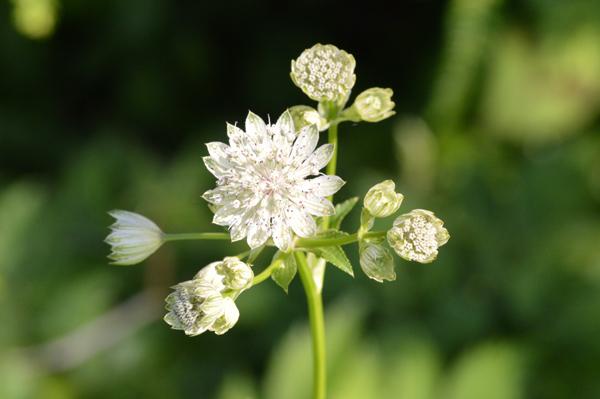 White Summer Bloom