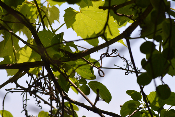 Wild Grape Curly Q 2