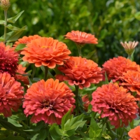 Beautiful Zinnia