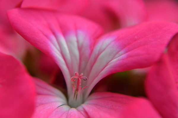 Geranium Pink and White