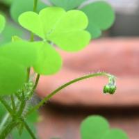 Little Green Buds