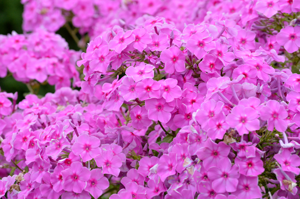 Love That Phlox