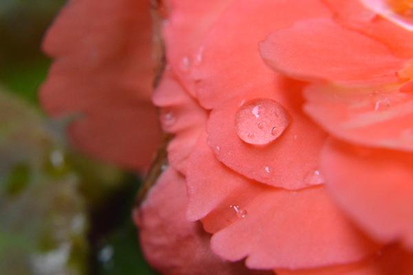 Peachy Begonia