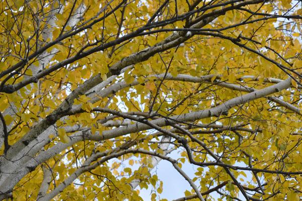 Birch Branches