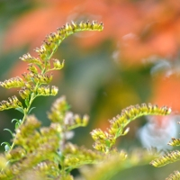 October Goldenrod