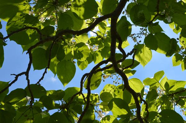 Catalpa Canopy