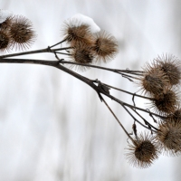 Snowy Burrs