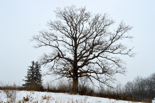 Oak in Snow