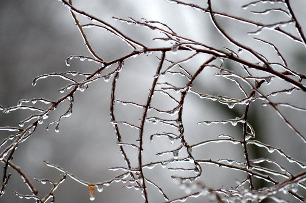 Spirea Branch