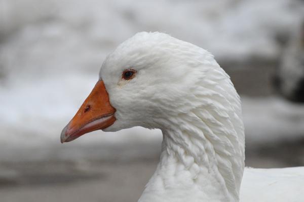 White Goose 2