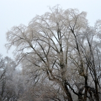 Willow in Winter
