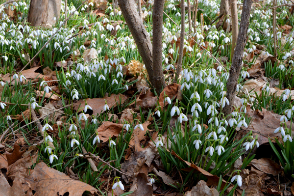 Snowdrops and Leaves