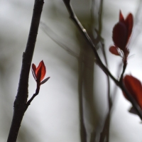 Sandcherry Leaves