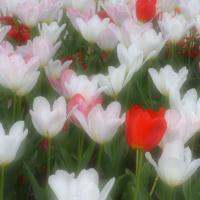 Soft Tulip Spring