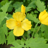 Wood Poppy Yellow
