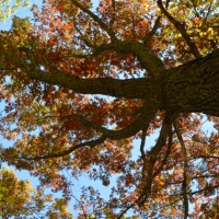 Looking Up An Oak
