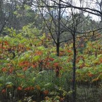 Sumac Woods 2