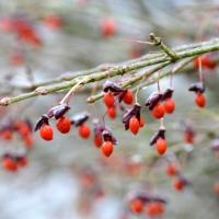 Winged Berries