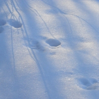 Tracks in Blue Snow