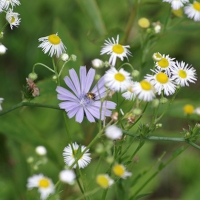 Fleabane and Chicory