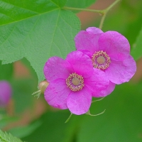 Flowering Raspberry Pink