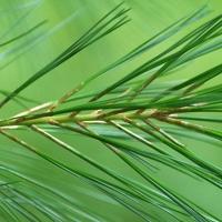 White Pine Green