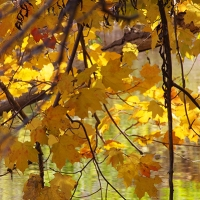 Yellow Maple Light