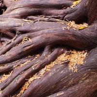 Cedar Strength