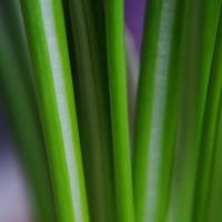 Crocus Leaves