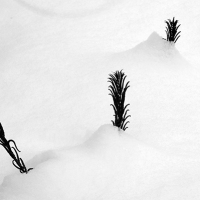 Ferns in Snow