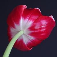 Under a Tulip