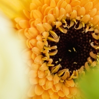 Gerbera Yellow