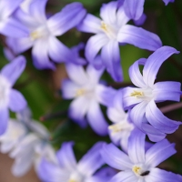 Bunch of Scilla