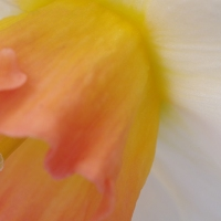 Daff Orange and White