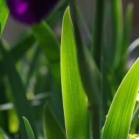 Glowing Iris Leaves