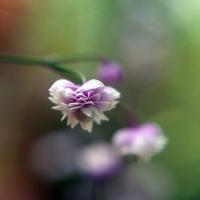 Meadow Rue Bloom