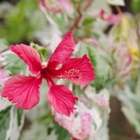 Summer Red Petals